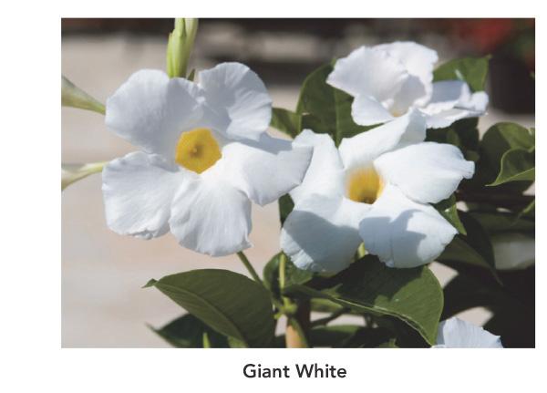 Sun Parasol Giant White
