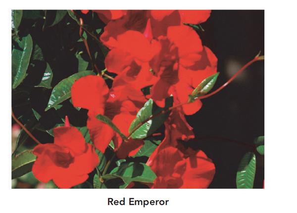 Sun Parasol Red Emperor