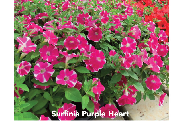 Surfinia Trailing Red