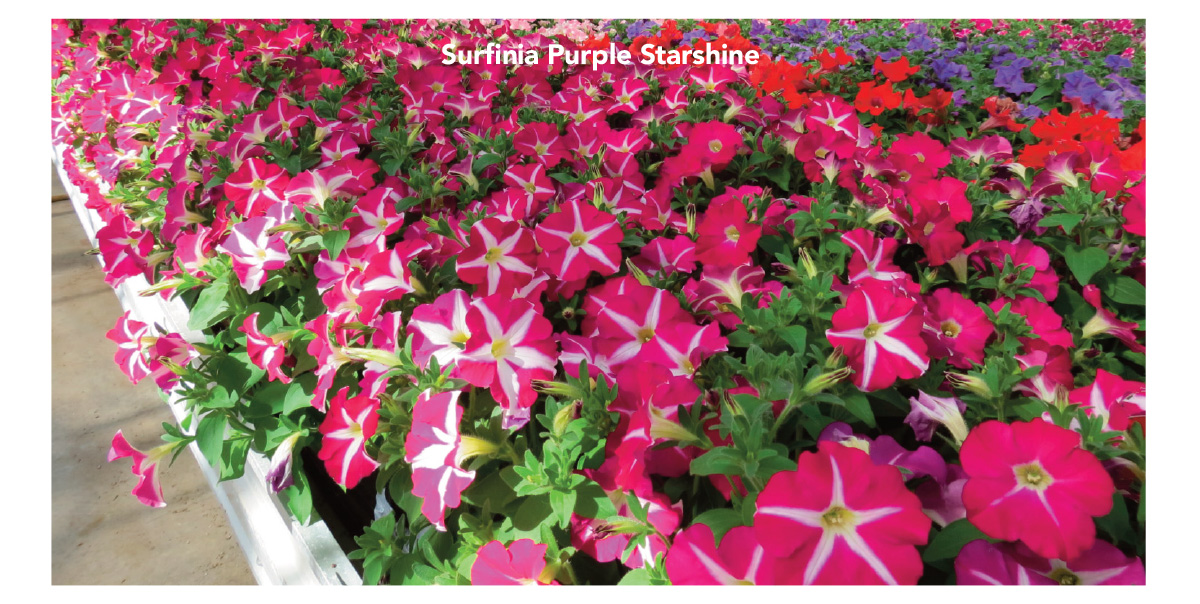 Surfinia Purple Starshine