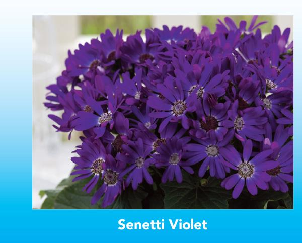 New Variety: Senetti Violet
