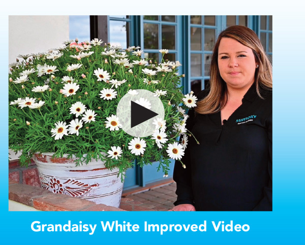Video: Grandaisy White Improved