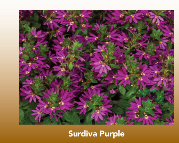 New Variety: Surdiva Purple