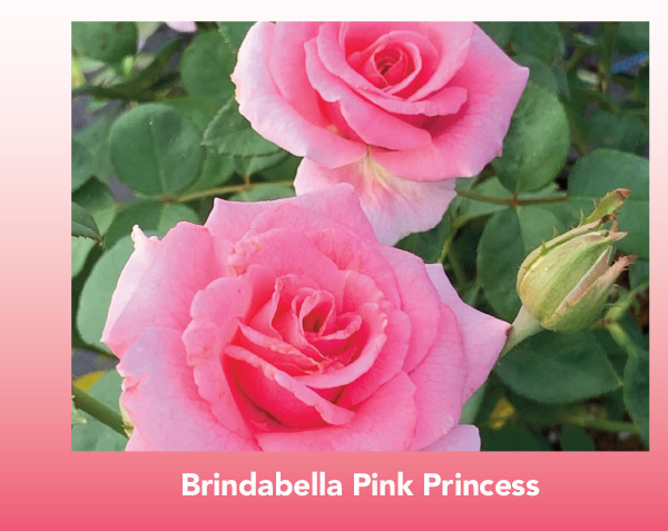 New Variety: Brindabella Pink Princess