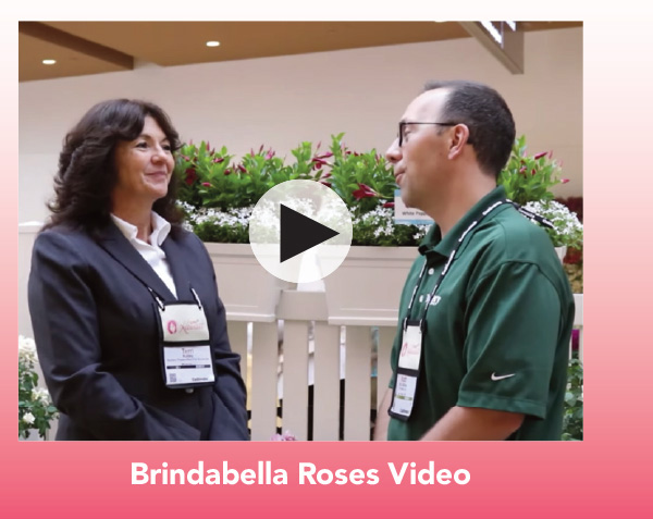 Video: Brindabella Roses