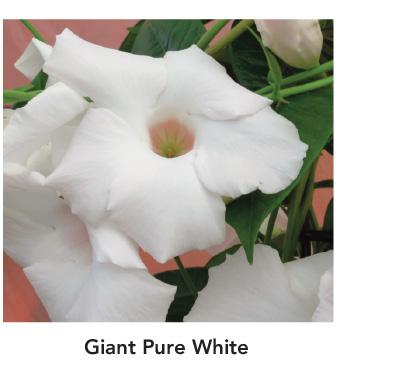 Sun Parasol Mandevilla Giant Pure White