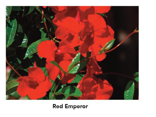 Sun Parasol Mandevilla Giant Red Emperor