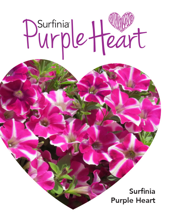 Surfinia Purple Heart
