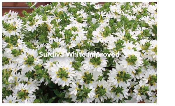 Surdiva White Improved