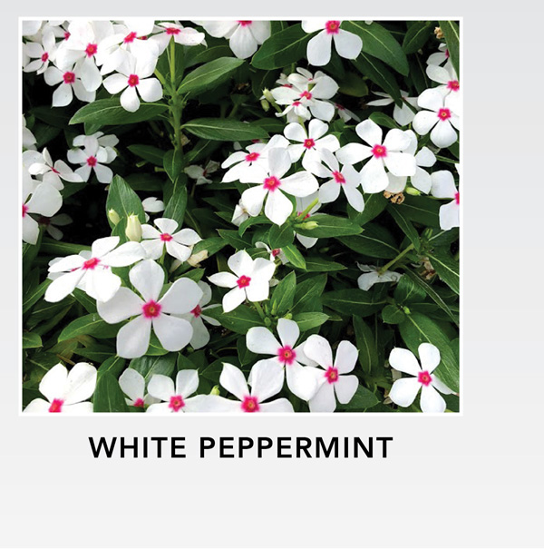 White Peppermint