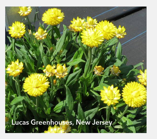 Lucas Greenhouses, New Jersey