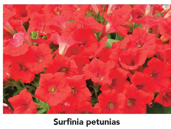 Surfinia petunias