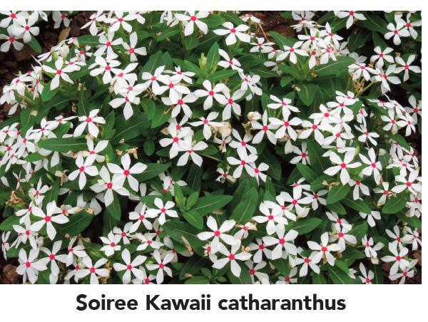 Soiree Kawaii catharanthus