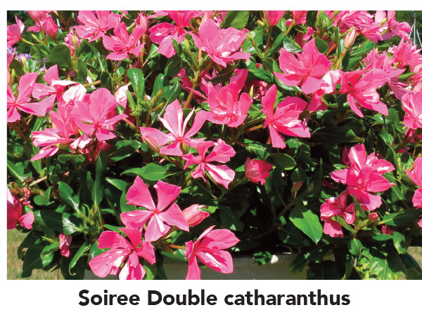 Soiree Double Catharanthus
