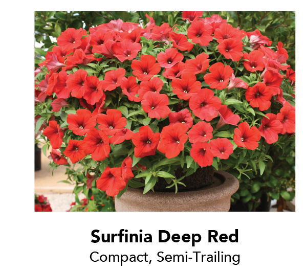 Surfinia Deep Red - Compact, Semi-Trailing