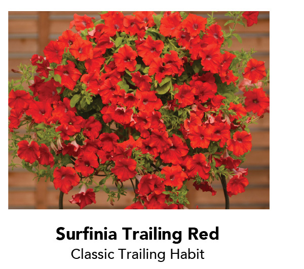 Surfinia Trailing Red - Classic Trailing Habit