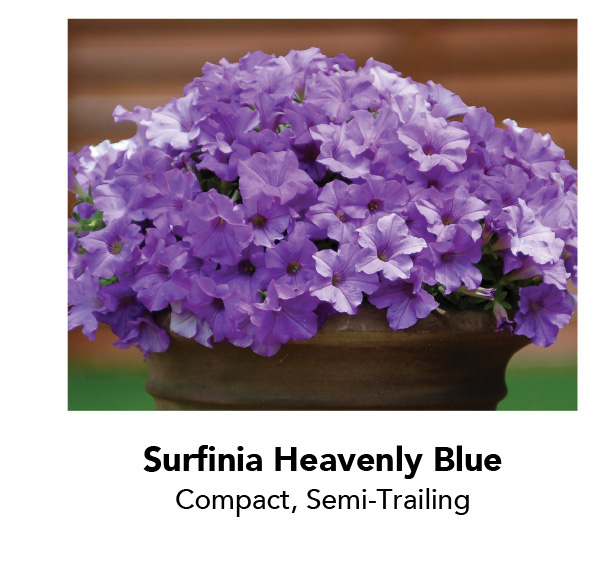 Surfinia Heavenly Blue - Compact, Semi-Trailing