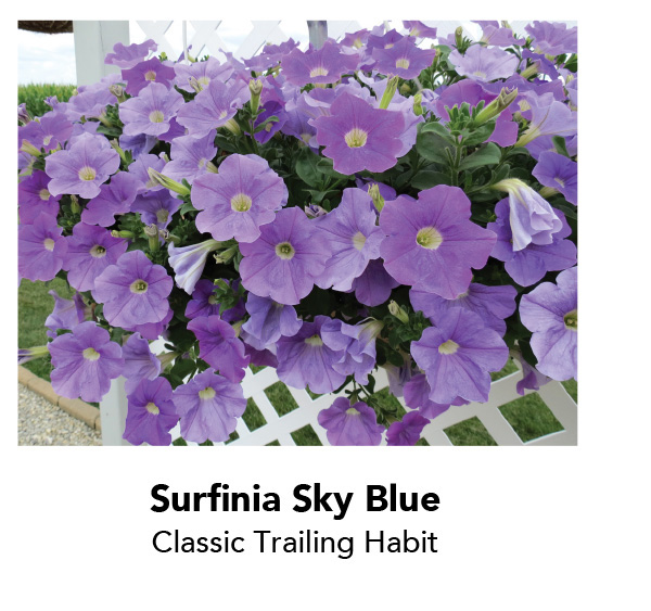Surfinia Sky Blue - Classic Trailing Habit