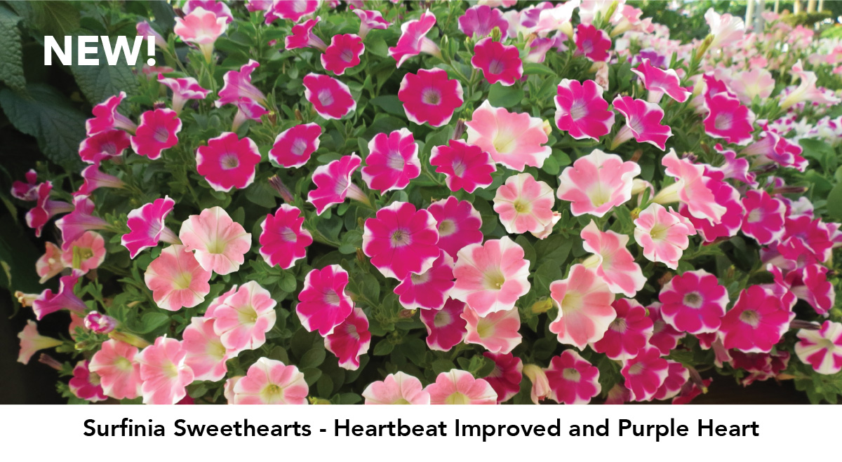 NEW! Surfinia Sweethearts - Heartbeat Improved and Purple Heart