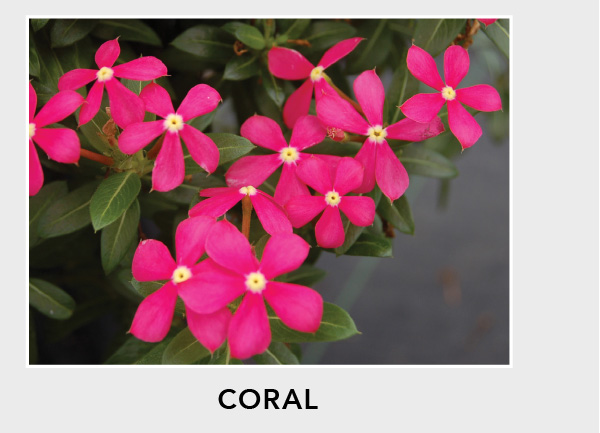 Soiree Kawaii Coral