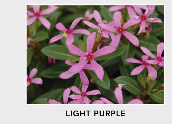 Soiree Kawaii Light Purple