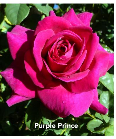 Brindabella Purple Prince