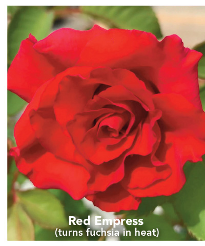 Brindabella Red Empress (turns fuchsia in heat)