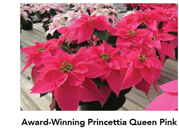Princettia Queen Pink