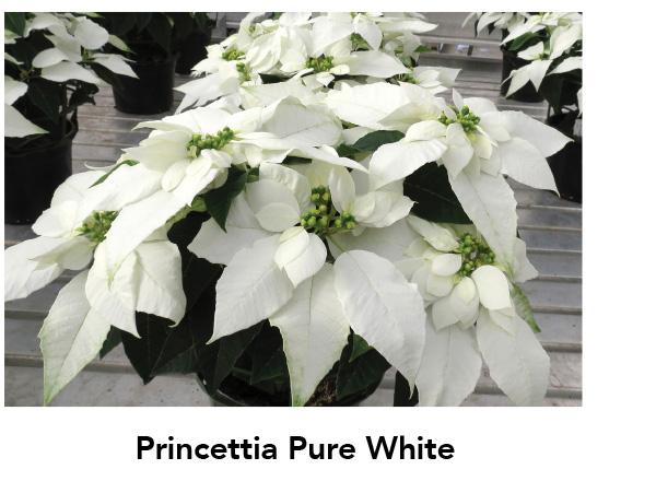 Princettia Pure White