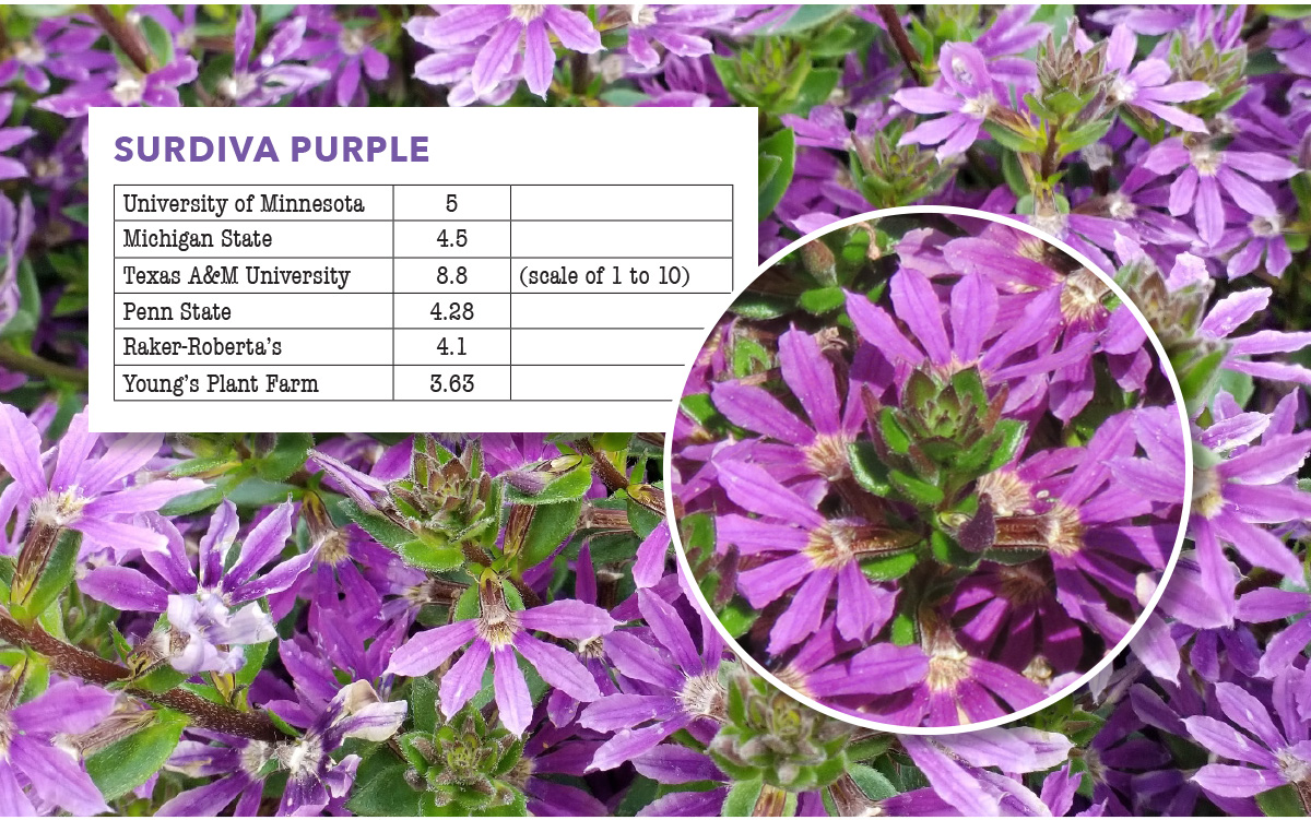 Surdiva Purple