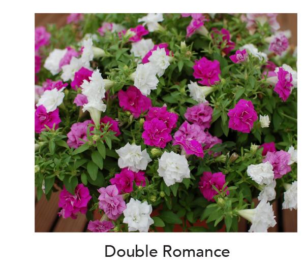 Surfinia Double Romance