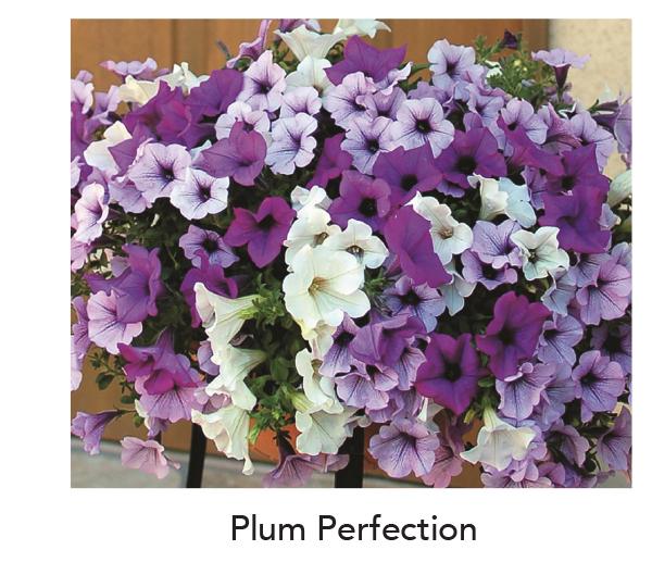 Surfinia Plum Perfection