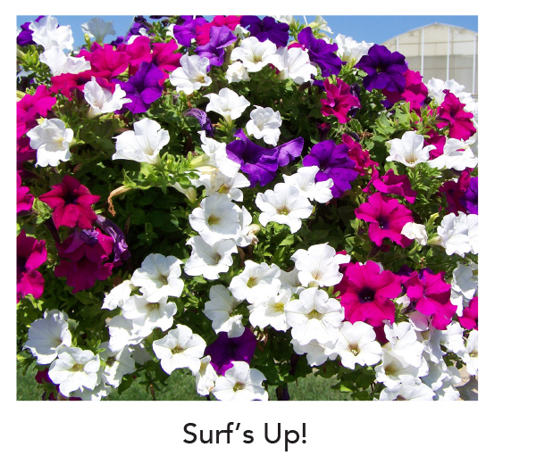 Surfinia Surf's Up!