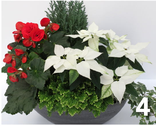 4. Premium Dish Garden – Pure White with Rieger begonia, conifers and ivy