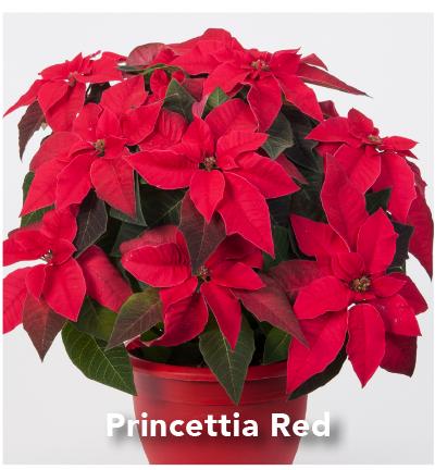 Princettia Red