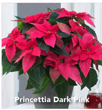 Princettia Dark Pink