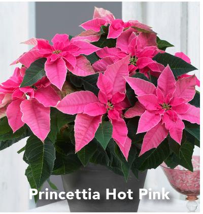 Princettia Hot Pink
