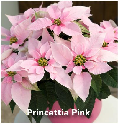 Princettia Pink