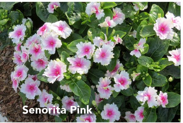Senorita Pink