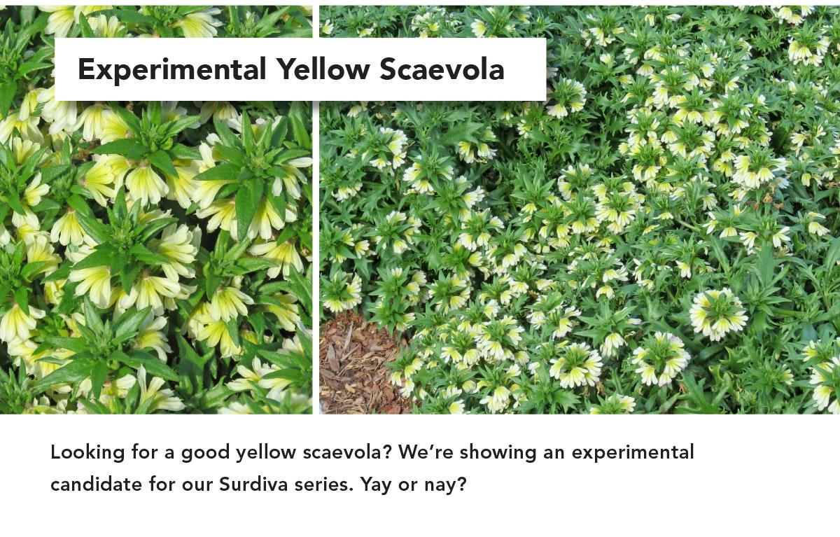 EXPERIMENTAL YELLOW SCAEVOLA