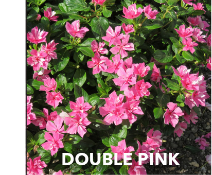 Soiree Double Pink