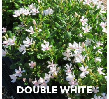 Soiree Double White