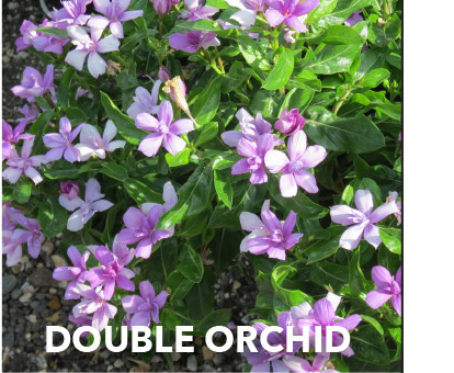 Soiree Double Orchid
