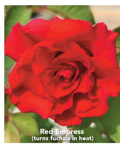 Brindabella Red Empress rose