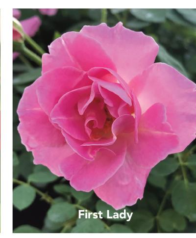 Brindabella First Lady rose