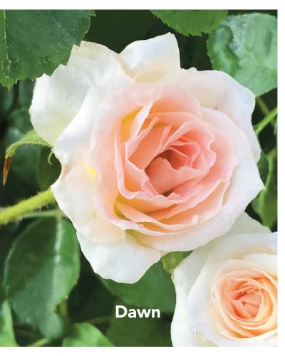 Brindabella Dawn rose