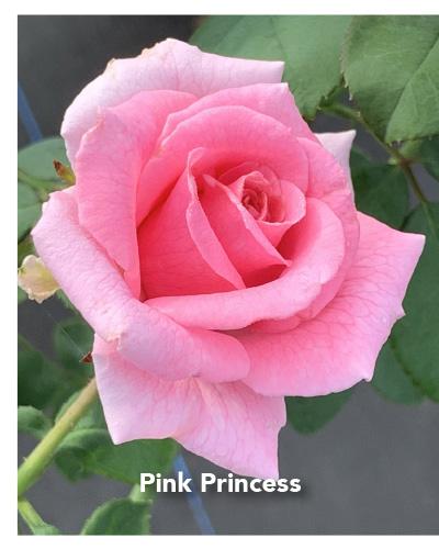Brindabella Pink Princess rose
