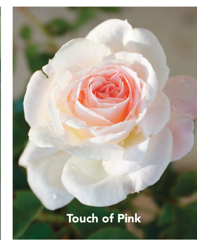 Brindabella Touch of Pink rose