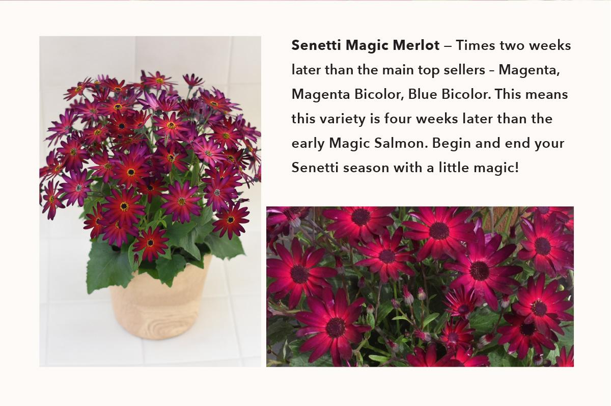 senetti magic merlot