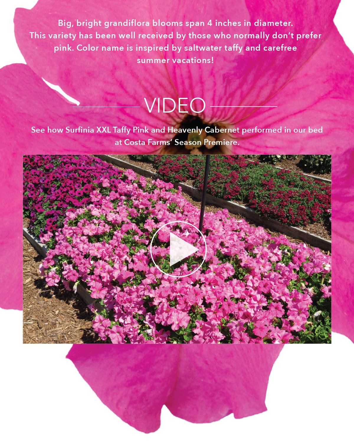 Watch Taffy Pink Video